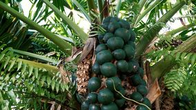 Palm tree fruit for sugar. Palm tree fruit ready to make oil from it stock footage