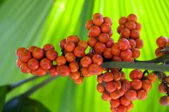 Palm tree fruits Royalty Free Stock Images
