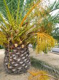 Palm tree with fruits Stock Photography