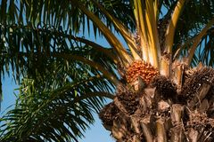 Palm tree with fruits against the blue sky. Palm tree with fruits on blue sky background green leaves and brown trunk royalty free stock image