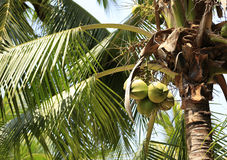 Palm tree with fruits in the blue sunny sky Royalty Free Stock Image