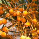 Palm tree fruits closeup Stock Photo