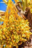 Palm tree fruits Stock Photo