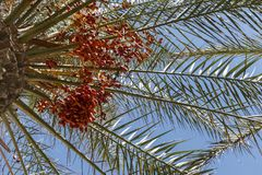 Palm tree with the fruits of dates against the blue sky stock photos