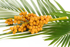 Palm tree fruits Stock Images