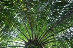 Palm tree full view Royalty Free Stock Photos