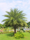 Palm tree in the garden Royalty Free Stock Photos
