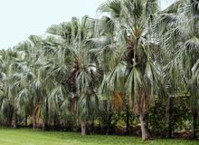 Palm tree in the garden. For design work Stock Photo