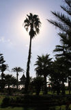 Palm tree in garden with sun behind Royalty Free Stock Photography