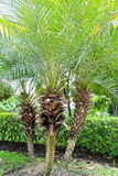 Palm tree in garden Royalty Free Stock Images