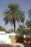 Palm tree in Ghadames, Libya Royalty Free Stock Photo