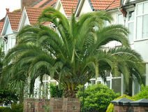 Palm Tree Giant. Front garden with a giant palm tree Royalty Free Stock Images