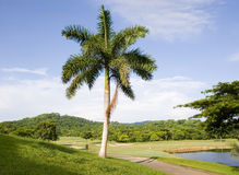 Palm Tree on Golf Course Royalty Free Stock Images