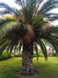 Palm tree on grass royalty free stock photography