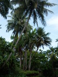 Palm Tree. Great photo of a palm tree taken in the Dominican Republic during the summer Royalty Free Stock Photo
