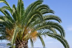 Palm tree with green branches and yellow fruits Stock Image