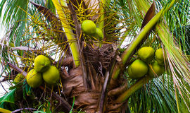 Palm tree with green coconuts Royalty Free Stock Image