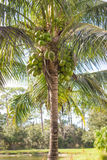 Palm Tree with Green Coconuts Royalty Free Stock Photo