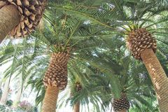 Palm trees with plenty of leaf royalty free stock image