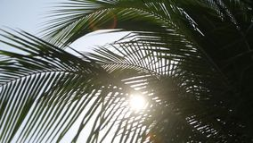 Palm tree with green leaf and sun ray on tropical Maldives island, exotic place. Palm tree with green leaf and sun ray on tropical island on Maldives, exotic stock footage