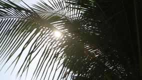 Palm tree with green leaf and sun ray on tropical Maldives island, exotic place. Palm tree with green leaf and sun ray on tropical island on Maldives, exotic stock video