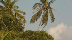 Palm tree with green leaf and sun ray on tropical Maldives island, exotic place stock footage