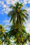 Palm tree Royalty Free Stock Image