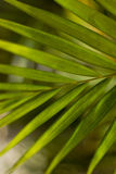 Palm tree green unfocused wood Royalty Free Stock Image