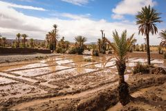 Palm tree grove. Oasis Skoura. Morocco. Stock Photography