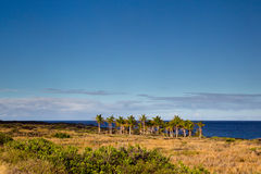 Palm tree grove. On a solidified lava flow at the coast in the Hawaii Volcanoes National Park on Big Island, Hawaii, USA Royalty Free Stock Photo