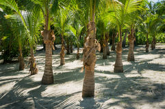 Palm Tree Grove Royalty Free Stock Images
