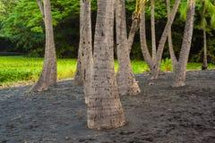 Palm tree grove Royalty Free Stock Image