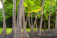 Palm tree grove Royalty Free Stock Photography