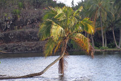 Palm tree growing across water, Kauai, Hawaii Royalty Free Stock Photo