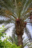 Palm tree growing on it dates Royalty Free Stock Photo