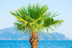 Palm tree growing near the sea Royalty Free Stock Images