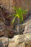 Palm tree growing on rocks Royalty Free Stock Photography