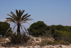 Palm tree growing in Spain. Palm tree growing by a small oasis in Spain royalty free stock photography