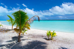 Palm tree growing up on Aitutaki beach, Cook Islands Stock Images