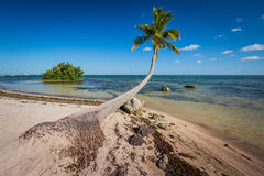 Palm tree grows out over ocean. In Florida Stock Photos