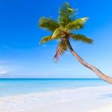 Palm tree grows on white sandy beach. Caribbean Sea, Dominican republic, Saona island. Palm tree grows on white sandy beach Stock Image