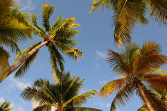 Palm tree in Guadeloupe Stock Photo