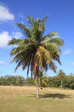 Palm tree in Guam Royalty Free Stock Photos