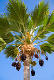 Palm tree with hanging clusters Royalty Free Stock Photo