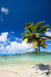 Palm tree hanging over beach Royalty Free Stock Images