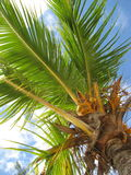 A palm tree. Having a rest on a Grand - Baie beach under a palm tree Royalty Free Stock Photography