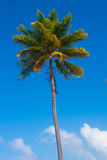 Palm tree. High, beautiful palm tree with leaves Royalty Free Stock Image