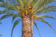Palm tree high and close with clean sky background Stock Photo