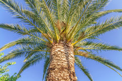 Palm tree high and close with clean sky background Stock Photography