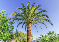 Palm tree high and close with clean sky background Royalty Free Stock Images